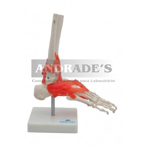 Articulação do pé - SD-5021