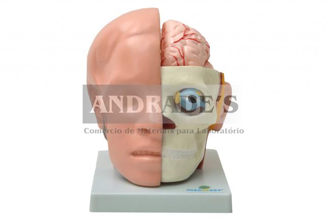 Cabeça com cérebro em 10 partes - SD-5037/B