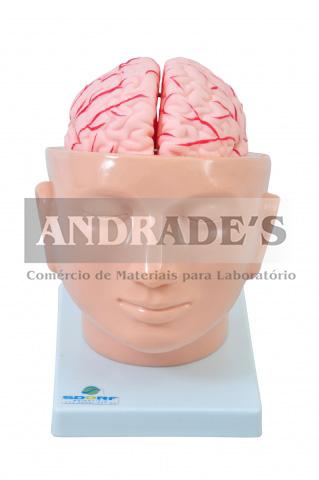 Cabeça com cérebro em 9 partes - SD-5037