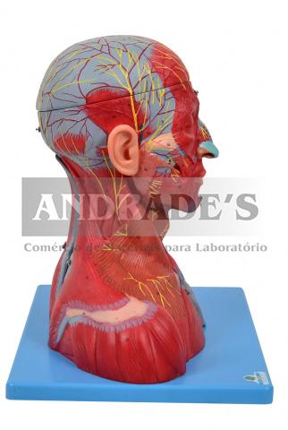 Cabeça, pescoço c/ parte do tronco musculados e cérebro - SD-5025/B