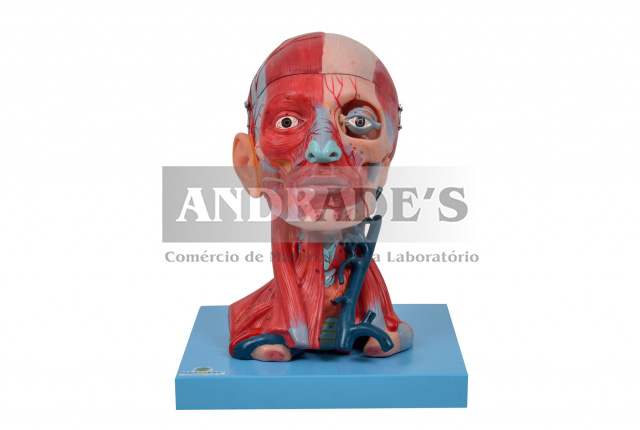 Cabeça e pescoço musculados - SD-5025