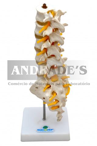 Coluna lombar - SD-5012