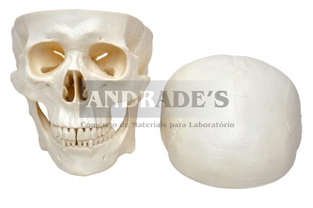Crânio c/ mandíbula móvel em 3 partes - SD-5006