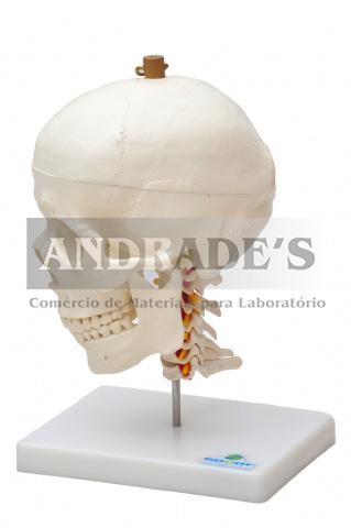 Crânio c/ mandíbula móvel e coluna cervical - SD-5008