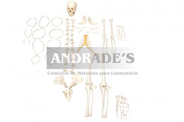 Esqueleto humano desarticulado - SD-5003
