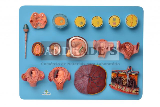 Fertilização humana e desenvolvimento embrionário - SD-5080