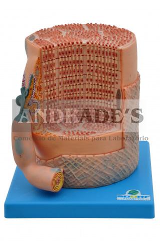 Fibra muscular esquelética c/ placa motora - SD-5029