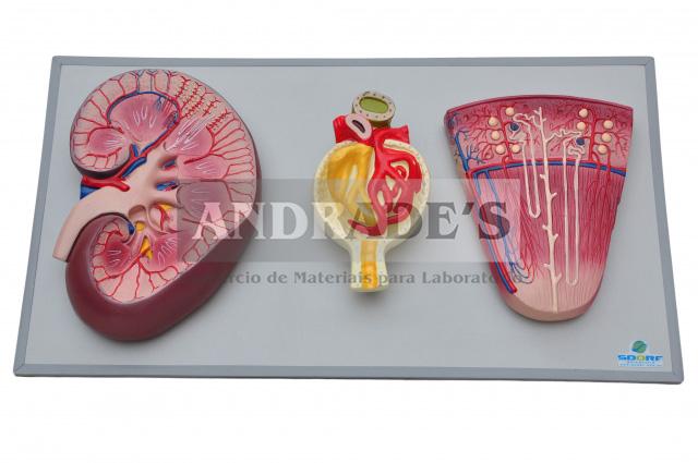 Rim, néfrons e gromérulos em prancha - SD-5051/B