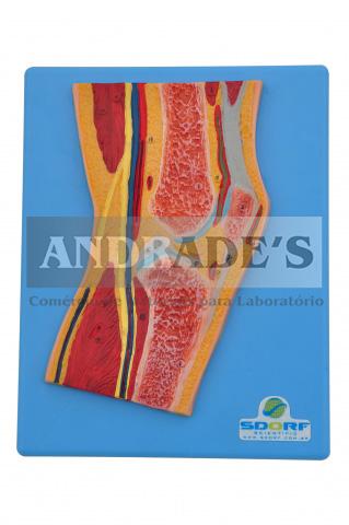 Secção mediana do joelho - SD-5035