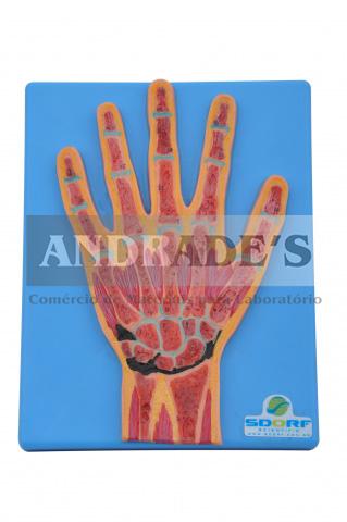 Secção mediana da mão - SD-5033