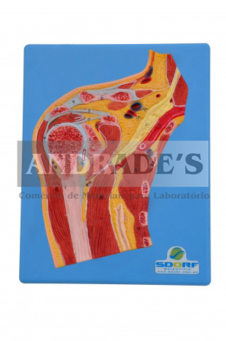 Secção mediana do ombro - SD-5031