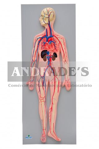 Sistema circulatório sanguíneo - SD-5067