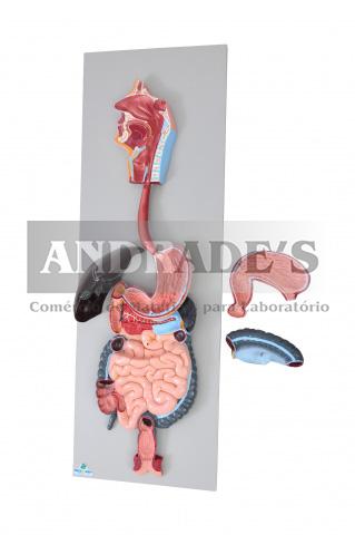 Sistema digestório em 3 partes - SD-5061