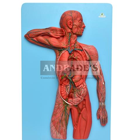 Sistema linfático - SD-5066