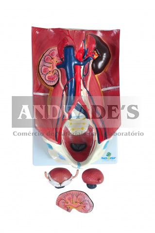 Sistema urinário clássico em 4 partes - SD-5063