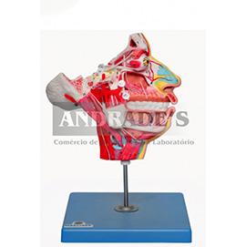 Boca, nariz, faringe, laringe com vasos e nervos - SD-5100