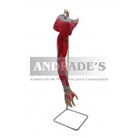 Braços c/ músculos, vasos e nervos em 7 partes - SD-5027
