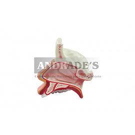 Cavidade nasal - SD-5042