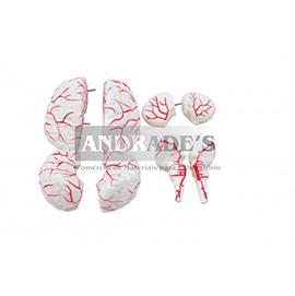 Cérebro em tamanho natural em 8 partes c/ artérias - SD-5040