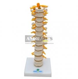 Coluna torácica - SD-5011