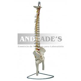 Coluna vertebral em tamanho natural, flexível c/ pelve e parte do fêmur - SD-500