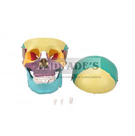 Crânio colorido c/ mandíbula móvel - SD-5007