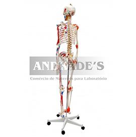 Esqueleto humano padrão 1,70 c/ art., inserções musc. e haste - SD-5001