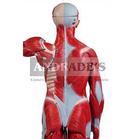 Figura muscular de 1,70c/ órgãos internos em 29 partes - SD-5026