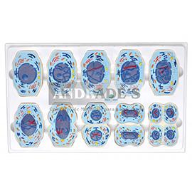 Meiose em 10 fases -SD-5071