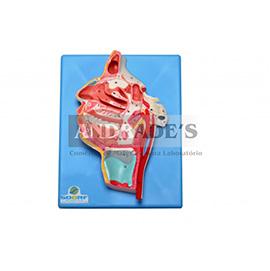 Nervos e vasos sanguíneos da face - SD-5101