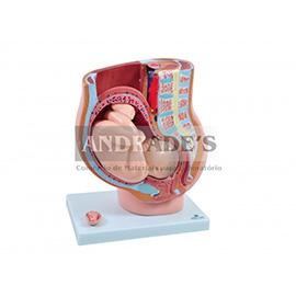 Pelve feminina c/ gravidez em 4 partes - SD-5058