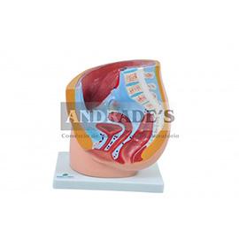 Pelve feminina c/ secção em 1 parte - SD-5057