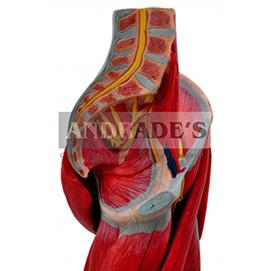 Perna c/ músculos, vasos e nervos em 10 partes - SD-5028