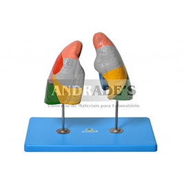 Pulmão segmentado em cores - SD-5055/C