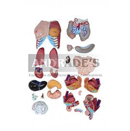 Torso humano bissexual c/ abertura nas costas de 85 cm c/ 24 partes - SD-5022