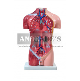 Torso humano masculino de 42 cm c/ 14 partes - SD-5023