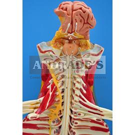 Tronco cerebral espinhal em tamanho natural - SD-5030