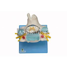 Vértebra cervical c/ cordão espinhal - SD-5013